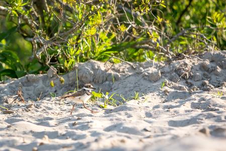A Killdeer chick (Charadrius vociferus) running across the sand at Assateague Island National Seashore, Maryland