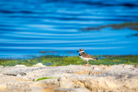 A Killdeer chick (Charadrius vociferus) by the water at Assateague Island National Seashore, Maryland Banco de Imagens - 113843648