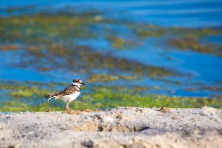 A Killdeer chick (Charadrius vociferus) by the water at Assateague Island National Seashore, Maryland Banco de Imagens