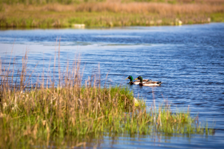 A pair of Mallard ducks (Anas platyrhynchos) swimming in the bay at Assateague Island National Seashore, Maryland