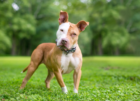 A red and white Pit Bull Terrier mixed breed dog standing outdoors, listening with a head tilt Stock Photo