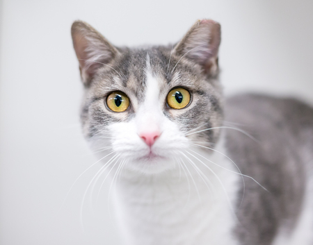 A gray and white domestic shorthair cat with its ear tipped, indicating that it has been spayed or neutered and vaccinated