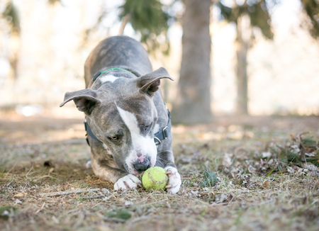 A gray and white Pit Bull Terrier mixed breed dog playing with a tennis ball between its paws Banco de Imagens