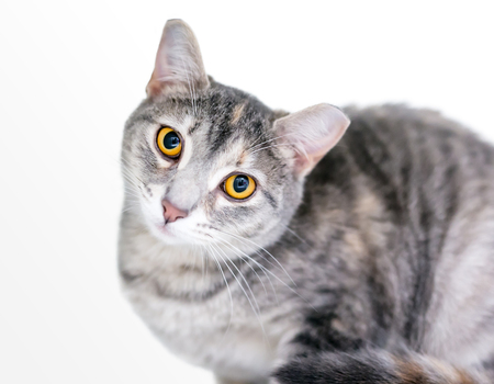 A wide eyed tabby domestic shorthair cat with its ear tipped, indicating that it has been spayed or neutered and vaccinated Banco de Imagens