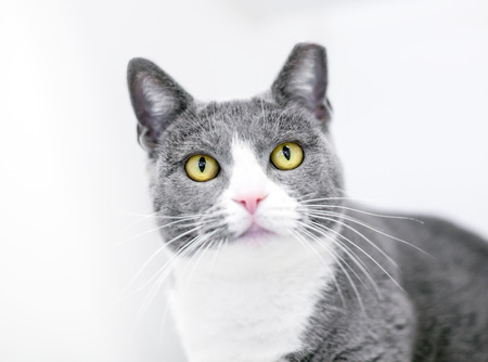 A gray and white domestic shorthair cat with its ear tipped, indicating that it has been spayed or neutered and vaccinated Banco de Imagens - 117225066