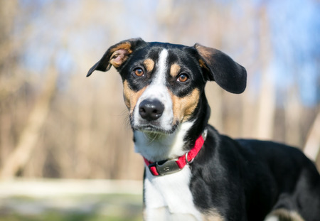 A tricolor Hound mixed breed dog wearing a red collar Banco de Imagens