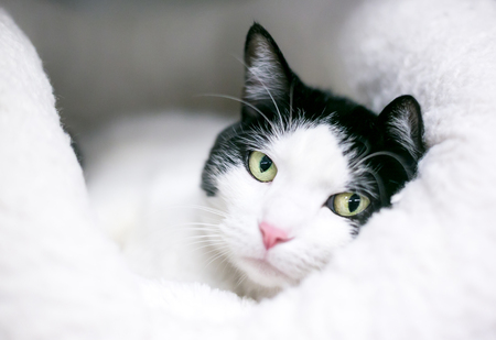 A black and white domestic shorthair cat relaxing on a soft bed Banco de Imagens - 117225072