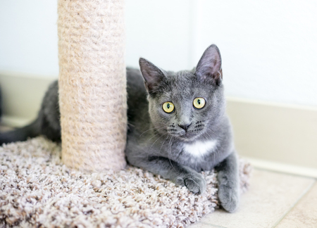 A gray and white domestic shorthair kitten sitting next to a scratching post Banco de Imagens - 117225073