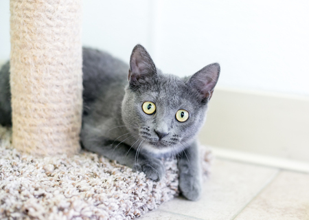 A gray and white domestic shorthair kitten sitting next to a scratching post