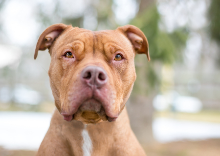 A red Pit Bull Terrier mixed breed dog with a serious expression