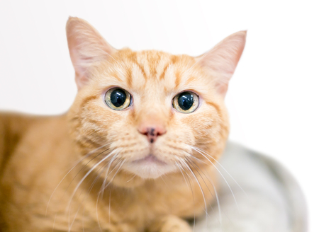 A wide-eyed orange tabby domestic shorthair cat with large dilated pupils Banco de Imagens