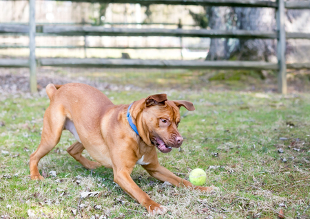 A playful red and white mixed breed dog jumping to catch a ball Banco de Imagens - 117225089