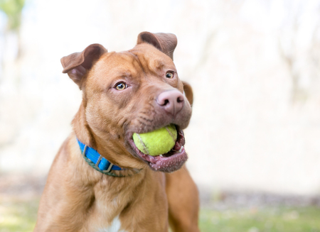 A playful Pit Bull Terrier mixed breed dog holding a tennis ball in its mouth Banco de Imagens - 117225091