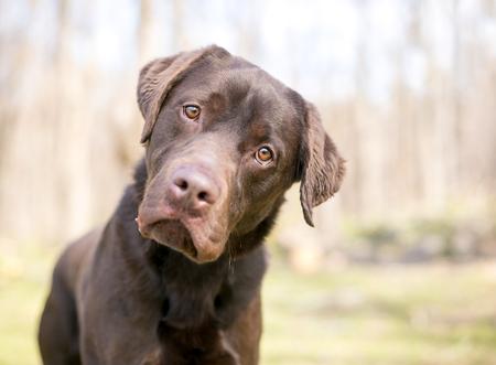 A purebred Chocolate Labrador Retriever dog listening with a head tilt