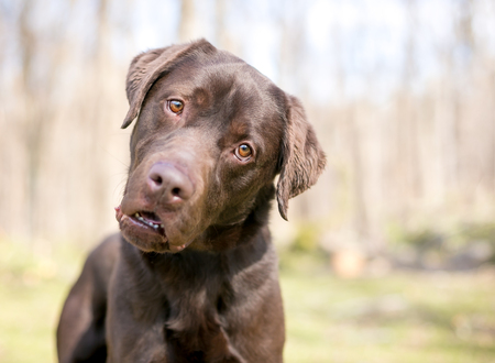 A purebred Chocolate Labrador Retriever dog listening with a head tilt and a comical expression on its face 免版税图像