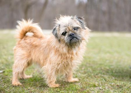 A Brussels GriffonPug mixed breed dog listening with a head tilt Banco de Imagens