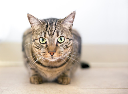 A brown tabby domestic shorthair cat crouching in a tense position Banco de Imagens