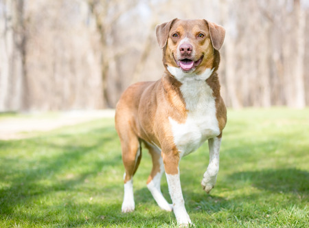 A happy red and white Retriever mixed breed dog outdoors