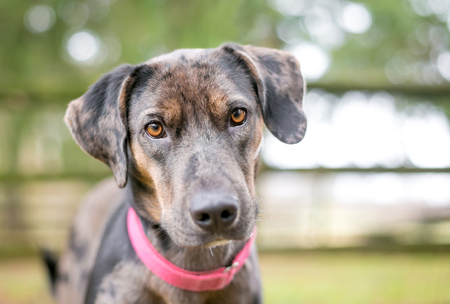 A merle Catahoula Leopard Dog mixed breed dog outdoors wearing a red collar Banco de Imagens - 117225128
