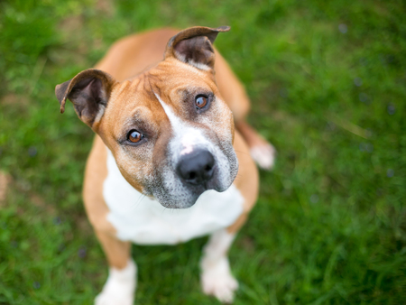A red and white Pit Bull Terrier mixed breed dog sitting outdoors and listening with a head tilt