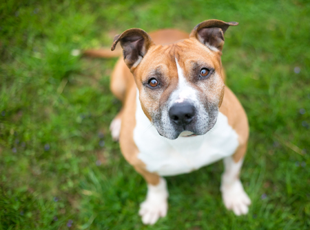 A red and white Pit Bull Terrier mixed breed dog sitting outdoors Banco de Imagens