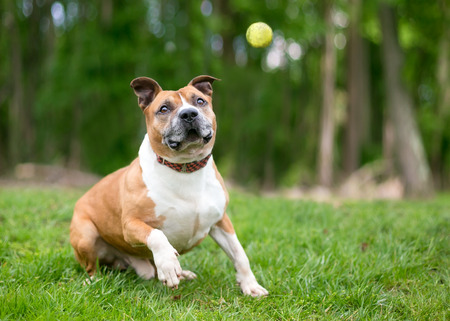 A playful red and white Pit Bull Terrier mixed breed dog about to catch a ball