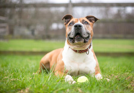 A red and white Pit Bull Terrier mixed breed dog lying in the grass with a ball Banco de Imagens - 117225139