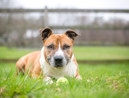 A red and white Pit Bull Terrier mixed breed dog lying in the grass with a ball Banco de Imagens - 117225143