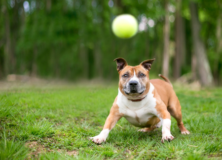 A playful red and white Pit Bull Terrier mixed breed dog about to catch a ball Banco de Imagens - 117225160