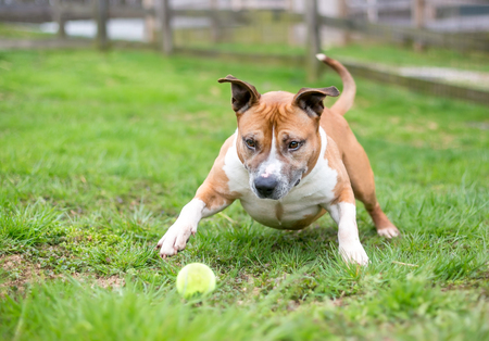 A playful red and white Pit Bull Terrier mixed breed dog with a ball Banco de Imagens