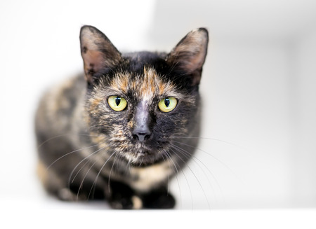 A Tortoiseshell domestic shorthair cat in a crouched position looking directly at the camera