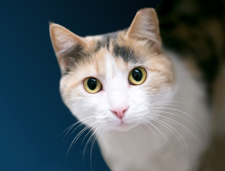 A Calico domestic shorthair cat with its left ear tipped, indicating that it has been spayed or neutered and vaccinated