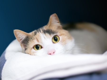 A Calico domestic shorthair cat with its left ear tipped, relaxing and peeking over a blanket