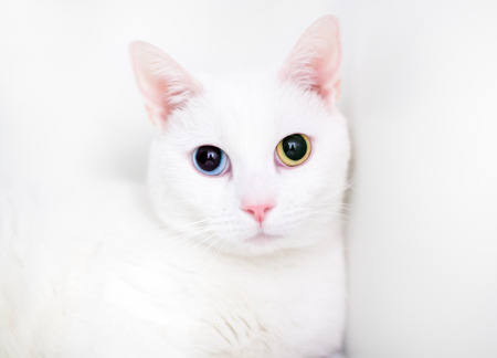 A white domestic shorthair cat with large dilated pupils and heterochromia, one blue eye and one yellow eye Banco de Imagens