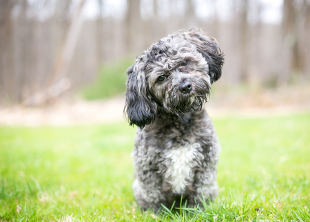 A cute gray and white Havanese / Shih Tzu mixed breed dog listening with a head tilt Banco de Imagens - 122101356