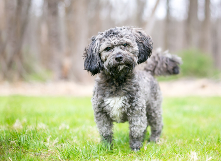 A cute gray and white Havanese  Shih Tzu mixed breed dog listening with a head tilt