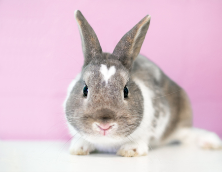 A cute brown and white Dwarf rabbit with a heart shape on its head Banco de Imagens - 122101360