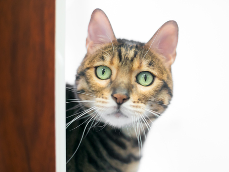 A Bengal breed cat with bright green eyes peeking around a doorway