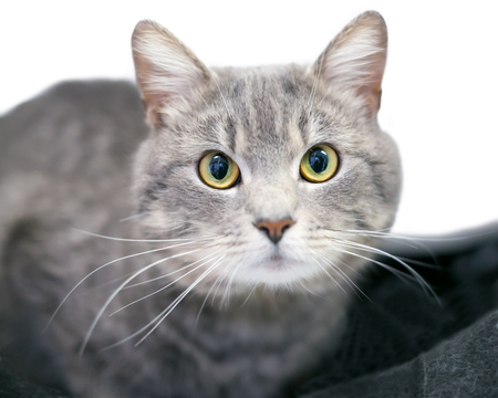 A gray tabby domestic shorthair cat looking directly at the camera
