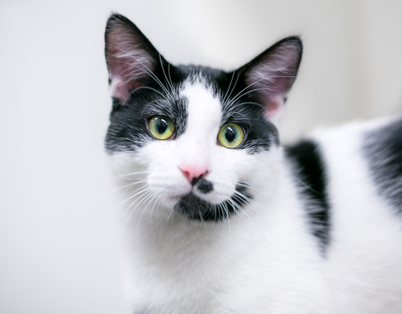 A black and white domestic shorthair cat with green eyes Banco de Imagens - 122101367