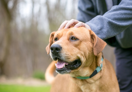 A person petting a happy Labrador Retriever mixed breed dog