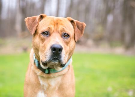 A Labrador Retriever mixed breed dog outdoors