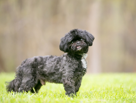 A black Shih Tzu mixed breed dog standing outdoors