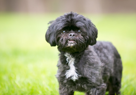 A black Shih Tzu mixed breed dog standing outdoors Banco de Imagens - 122101390