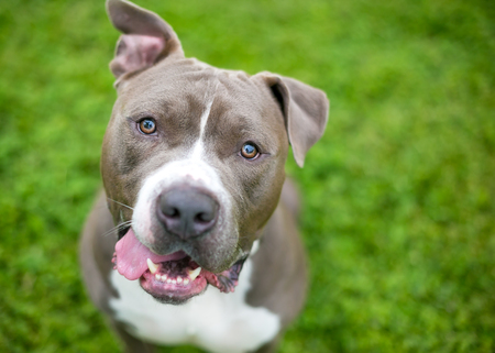 A friendly gray and white Pit Bull Terrier mixed breed dog with floppy ears and a happy expression