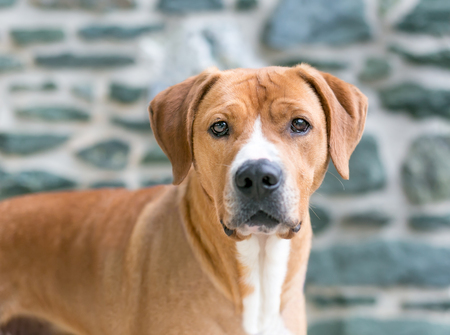 A red and white mixed breed dog in front of a stone wall