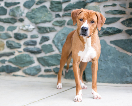 A red and white mixed breed dog in front of a stone wall Banco de Imagens - 122101394