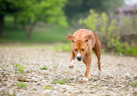 A red and white mixed breed dog running outdoors