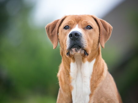 A red and white mixed breed dog outdoors gazing into the distance