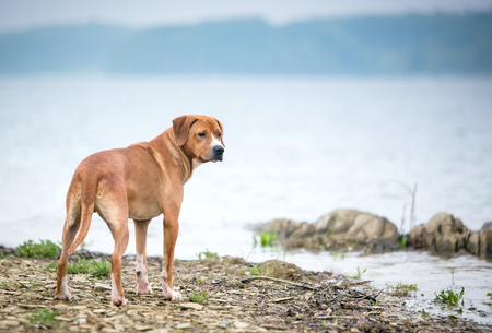 A red and white mixed breed dog standing next to a lake